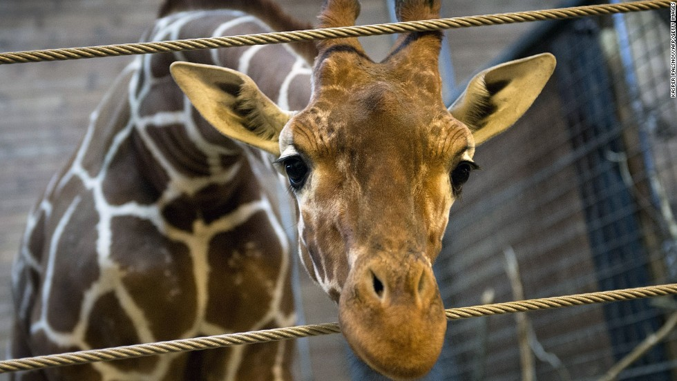 A Danish zoo has euthanized a healthy male giraffe, named Marius, saying it had a duty to avoid inbreeding. This photo of the giraffe was taken on February 7.  The 18-month-old giraffe was put down with a bolt gun on Sunday, February 9, according to a zoo spokesman.