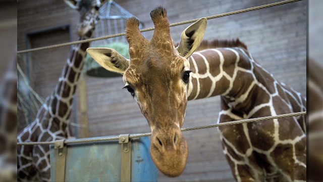 Copenhagen Zoo came under fire from animal rights activists for culling Marius the giraffe to make way for other animals