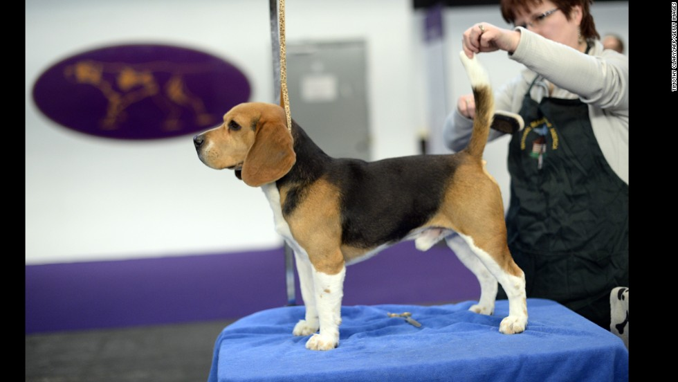 A beagle is groomed for the first day of competition.