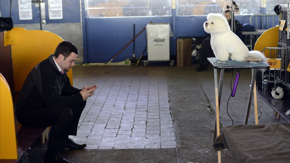 A bichon frise sits still as it waits for judging to start February 10.