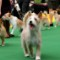 11 westminster kennel club dog show 0210 RESTRICTED
