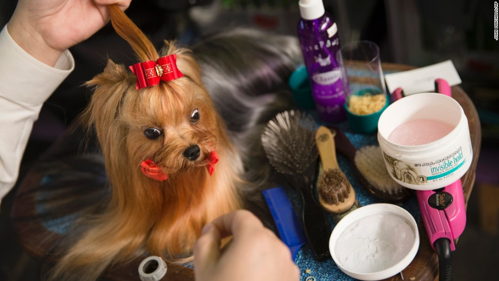 Jordan, a Yorkshire terrier, is prepped in the benching area on February 10.
