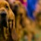 21 westminster kennel club dog show 0210 RESTRICTED