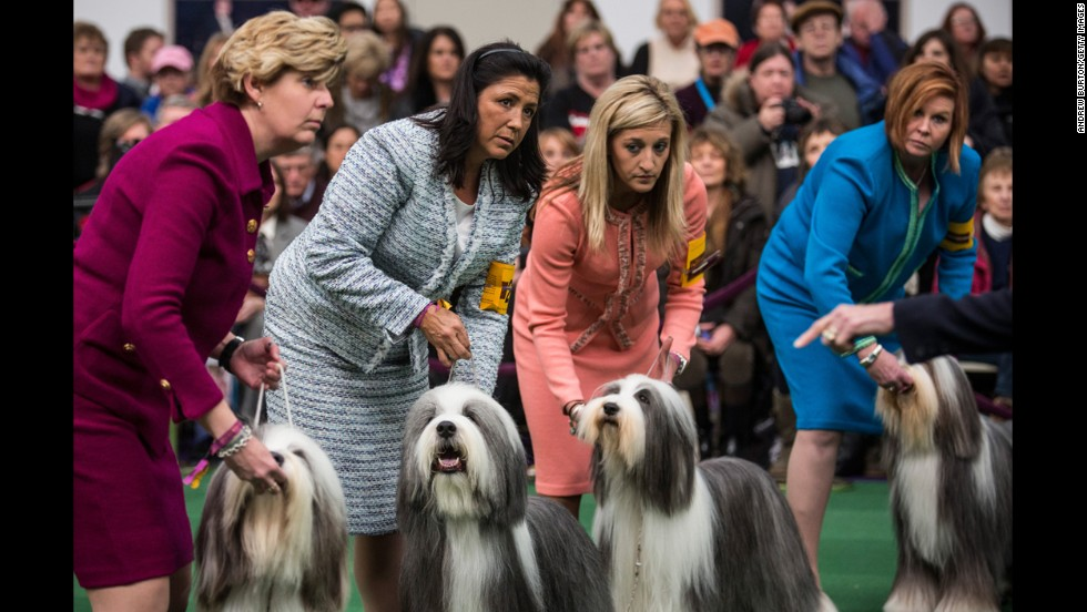 Old English sheepdogs on February 10.