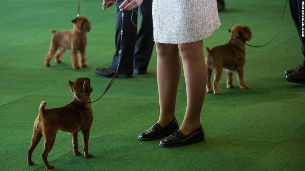 Three Brussels Griffons compete on February 10.