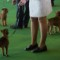 26 westminster kennel club dog show 0210
