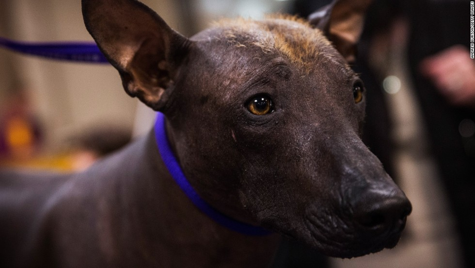 Armani, a Mexican hairless, waits to compete on February 10.