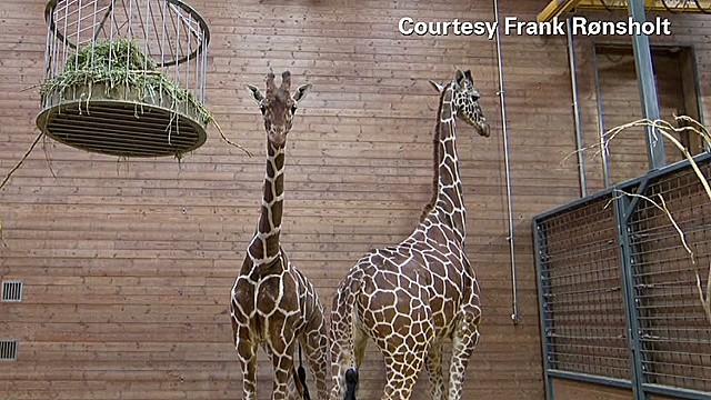 Defending the decision to kill a giraffe