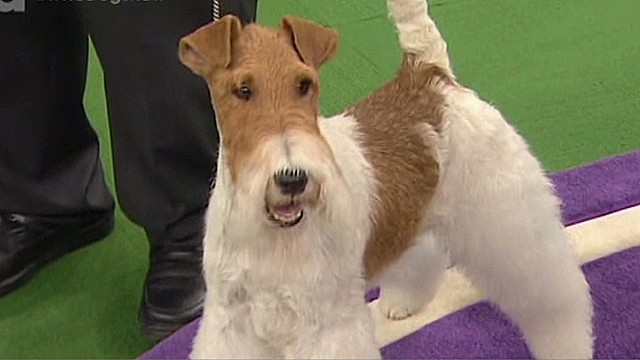 newday dnt best in show of Westminister dog show_00010025.jpg