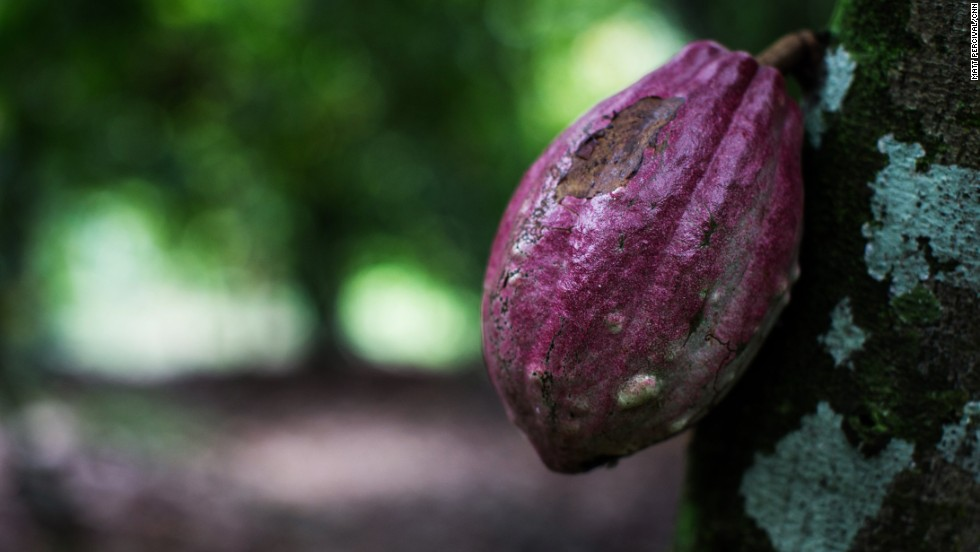 "Cocoa pods grow straight from the trunk of the cocoa tree, Theobroma cacao, or ""food of the gods."" One tree produces between 20 and 30 pods a year, each containing 20 to 50 almond-sized cocoa beans."