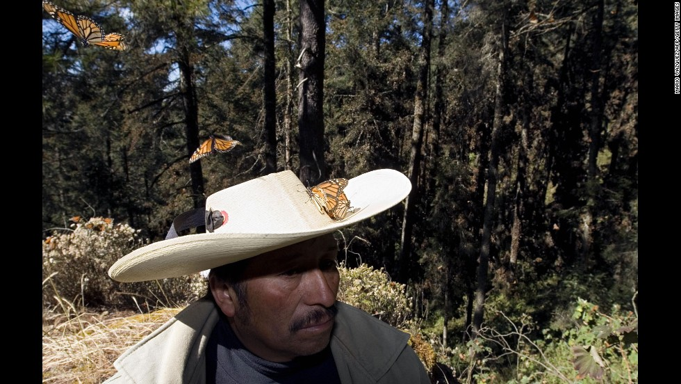 Millions of monarch butterflies arrive each year to breed in the Oyamel forest in Angangueo, after traveling more than 4,500 kilometers from the United States and Canada.