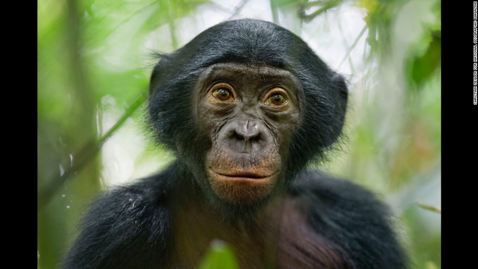 <strong>3rd Prize Nature Stories: </strong>A 5-year-old bonobo turns out to be the most curious individual of a wild group of bonobos near the Kokolopori Bonobo Reserve in the Democratic Republic of Congo. Despite being humans' closest living relatives, little is known about bonobos and their behavior in the wild in remote parts of the Congo basin. Bonobos are threatened by habitat loss and bush meat trade.