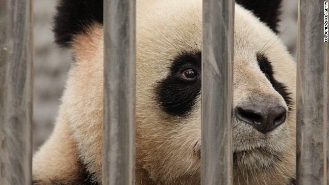 Giant pandas such as this one are endangered, with an estimated 1,600 left in the wild and around 300 living in zoos.