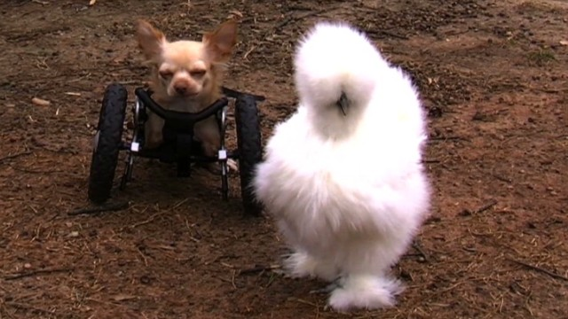 pkg ga chicken chihuahua best friends_00015720.jpg