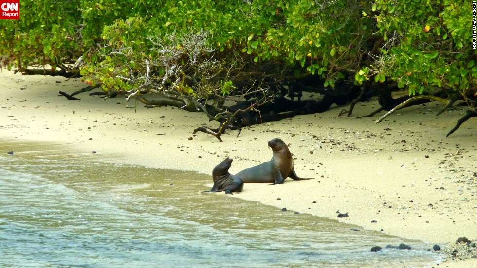 """<a href=""""http://ireport.cnn.com/docs/DOC-1093867"""">Freya Renders </a>vacationed on Isabela Island in May 2013. It's the largest island in the Galapagos. Venturing to the Galapagos Islands was on her bucket list, and an additional highlight was seeing all the wildlife there, like these two sea lions basking on the beach."""