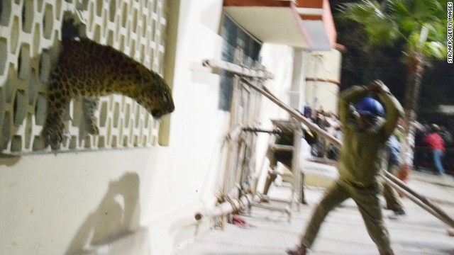 The big cat looks out at a baton-wielding official from a hole in the Meerut Cantonment Hospital wall