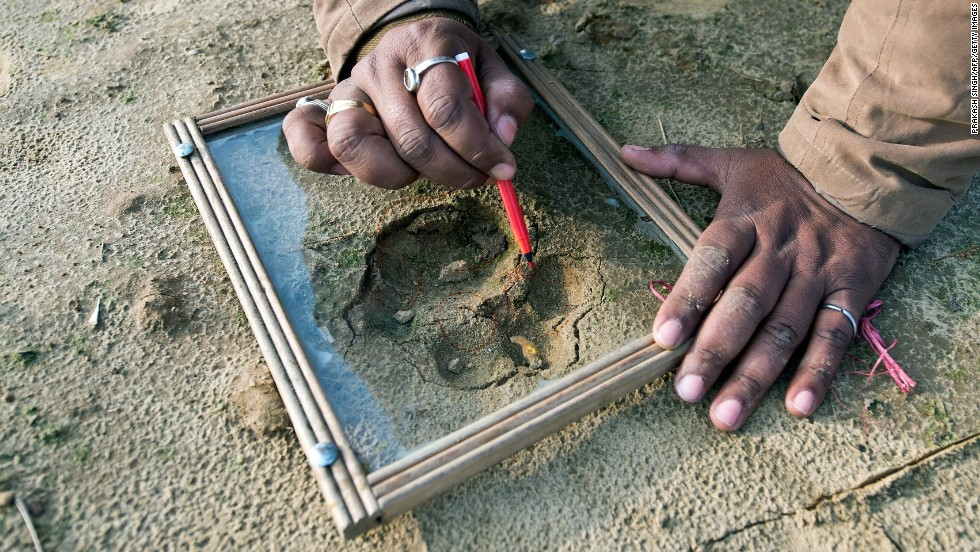 Forest guard Deepak Shukla traces paw prints near his village in the Indian state of Uttar Pradesh.