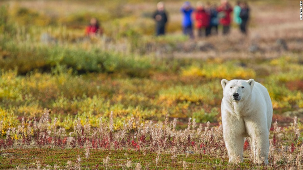 Climate change is melting polar bears' Arctic habitat -- you can still see them in the wild in places such as Canada's Hudson Bay.