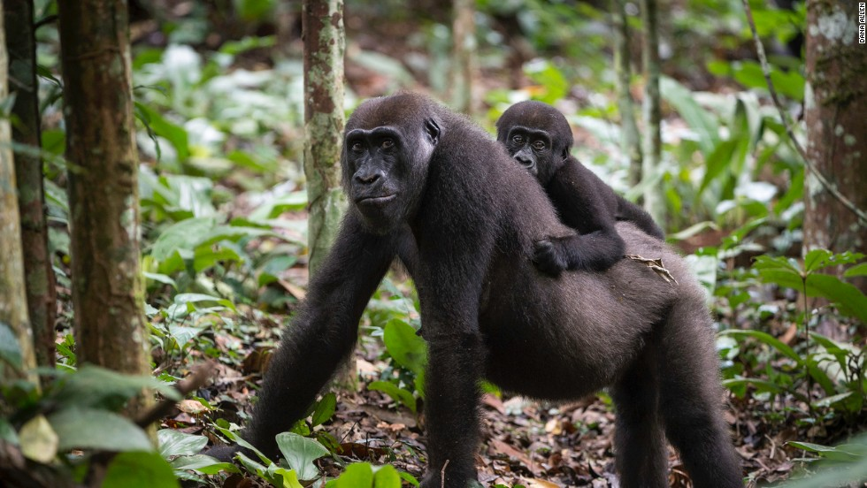 Poaching and disease are decimating the world's largest primate -- you can still watch them in their habitat in the Republic of the Congo.