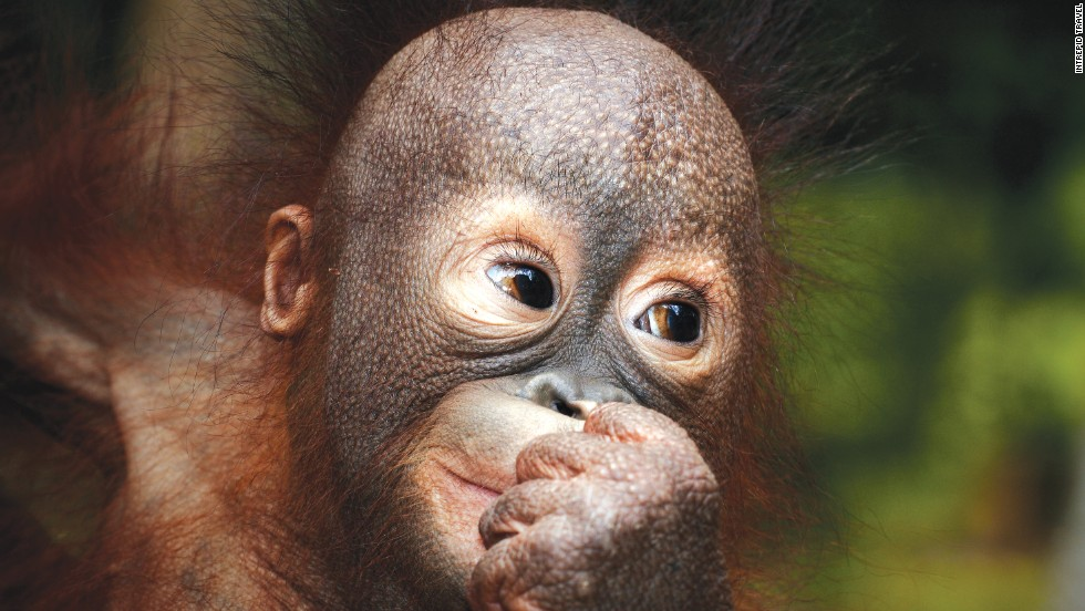 One of man's closest animal relatives could be extinct in a decade. In Borneo you can visit them in rehabilitation centers or the wild.