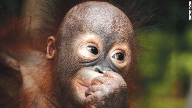 Illegal pet trade is one of orangutans' biggest threats.