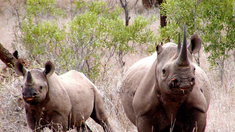 Botswana offers one of the best chances to see rhinoceros, the most endangered of the legendary Big Five African game species.