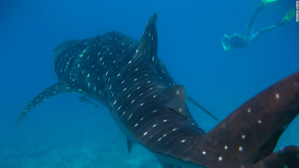Demand for their meat and fins presents an enormous threat to whale sharks. You can still swim with them off the Philippines.