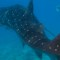 vanishing wilflife experiences whale sharks