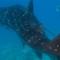 vanishing wilflife experiences whale sharks