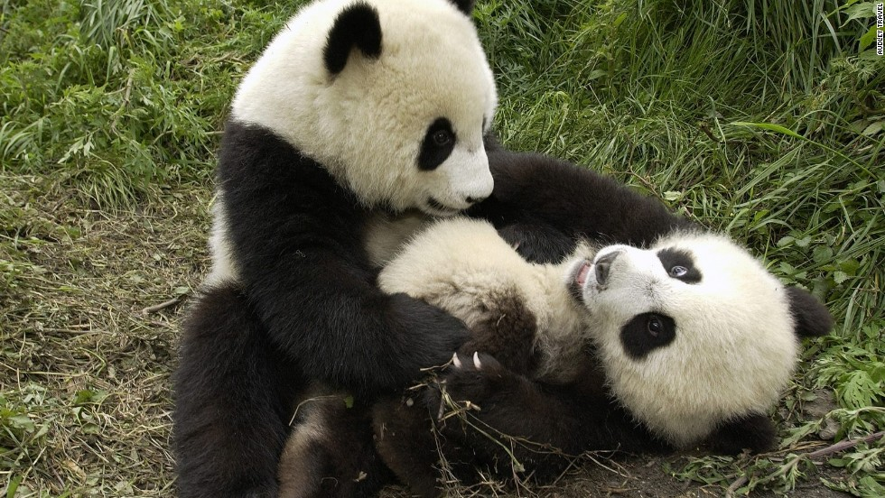 There are only around 1,600 giant pandas left in the wild.