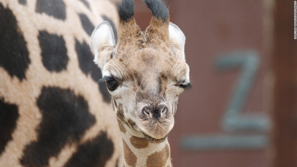 "A young Rothschild's giraffe winks to the camera at a zoo in Leipzig, Germany, on Friday, February 21. The giraffe, born on January 18, was named Jamal, which means ""beauty"" in Arabic."