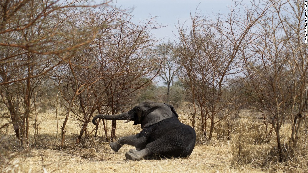 "An elephant gets up after being hit with a dart Wednesday, February 23, at Zakouma National Park in Chad. Once sedated, the elephant was fitted with a radio collar that can relay its position in the future and increase the chances it won't be poached. <a href=""http://www.cnn.com/2014/02/21/world/gallery/week-in-photos-0221/index.html"">See last week in 26 photos.</a>"