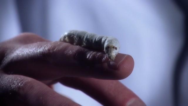 A silkworm