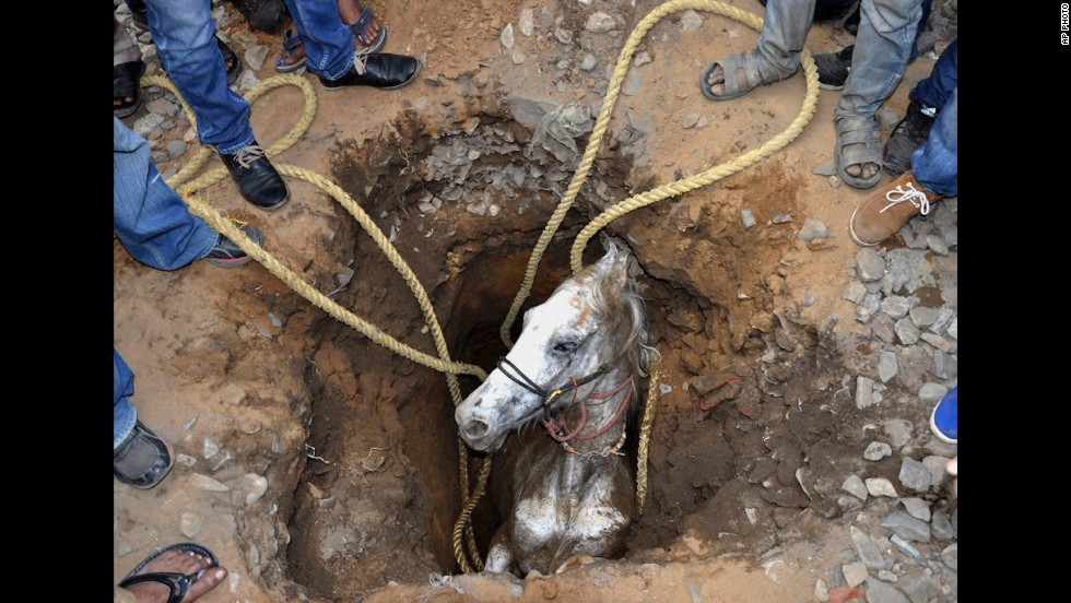 People help rescue a horse that fell in a pit Wednesday, March 5, in Jalandhar, India. After about two hours, the horse was pulled to safety, according to local reports. The pit had been dug for electric poles.