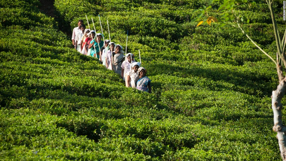 The tea trails and plantations are some of the most scenic, and now five-star experiences, available to visitors looking for a taste of Sri Lankan tea history.