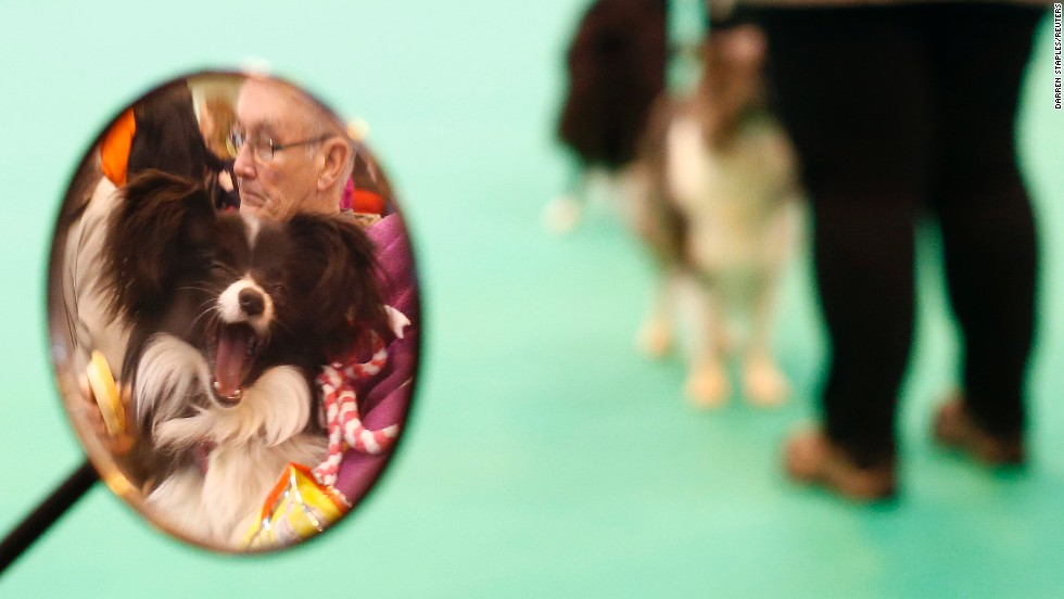 A yawning dog is reflected in a mirror as its owner watches the judging take place on March 6.