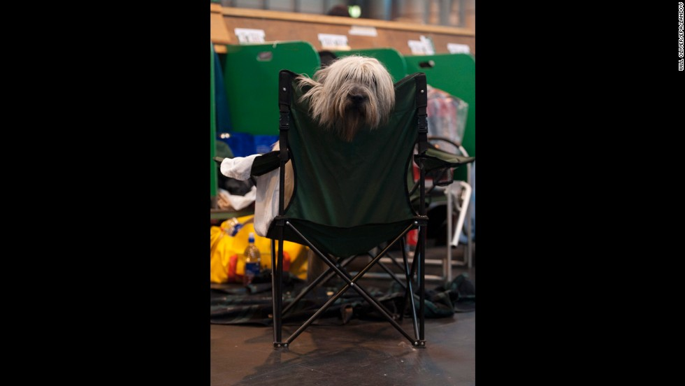 A Polish Lowland Sheepdog takes a break during competition on March 6.