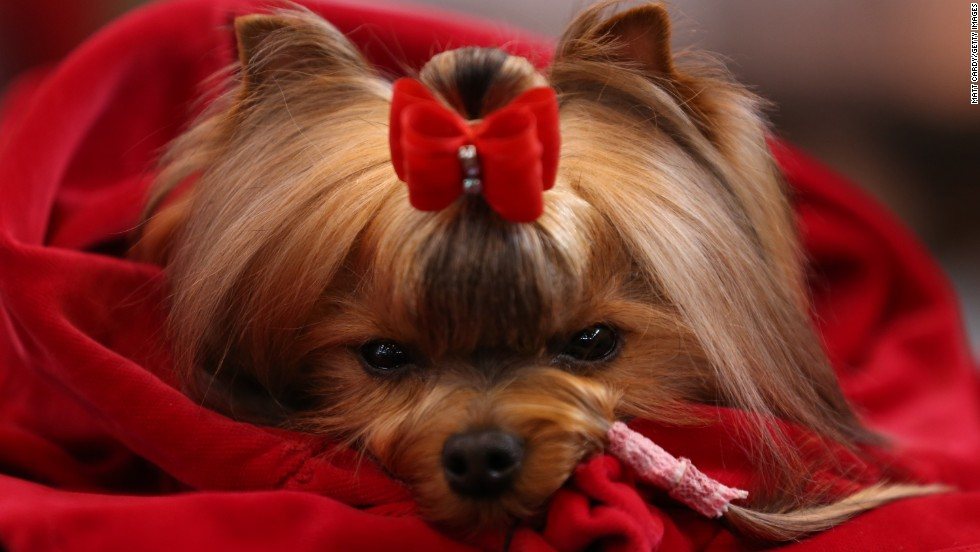 A Yorkshire terrier waits to be judged during the Toy and Utility day of the Crufts dog show on Saturday, March 8.
