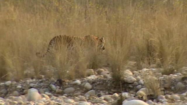 pkg udas india tiger attack_00023302.jpg