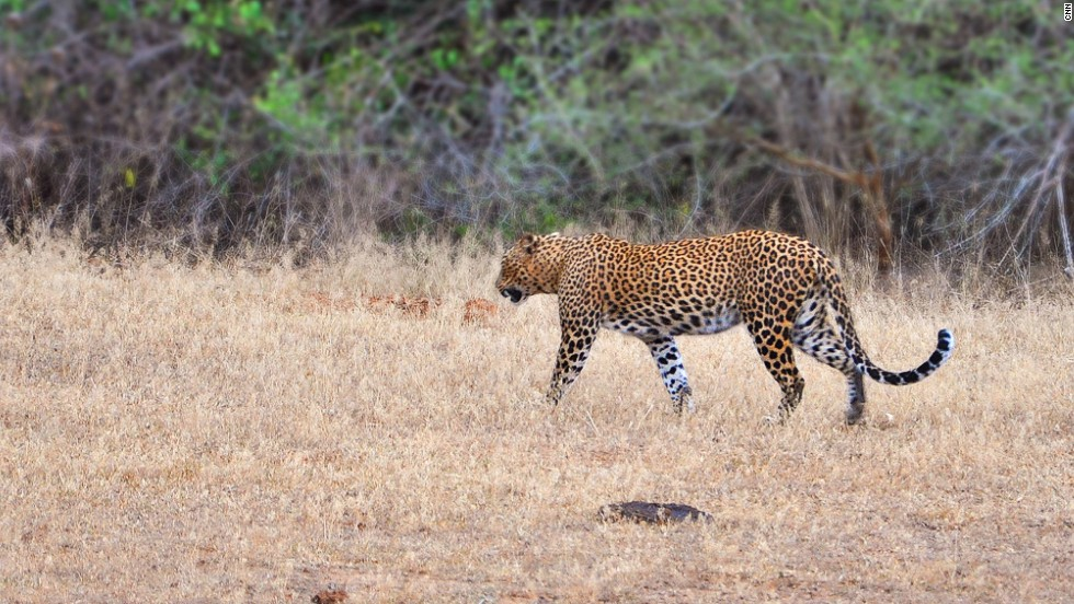 Though sightings aren't guaranteed, leopards are the top draw for tourists on safari at Yala National Park in Sri Lanka.