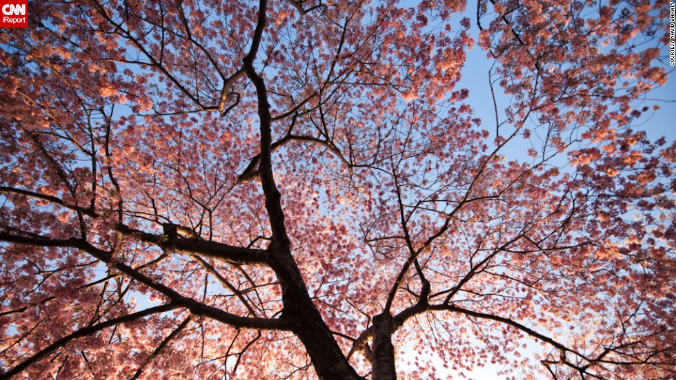 """New York resident <a href=""""http://ireport.cnn.com/docs/DOC-767994"""">Navid Baraty </a>visited D.C. to see the cherry blossoms bloom in 2012. This was his first time at the festival and he says it was spectacular."""