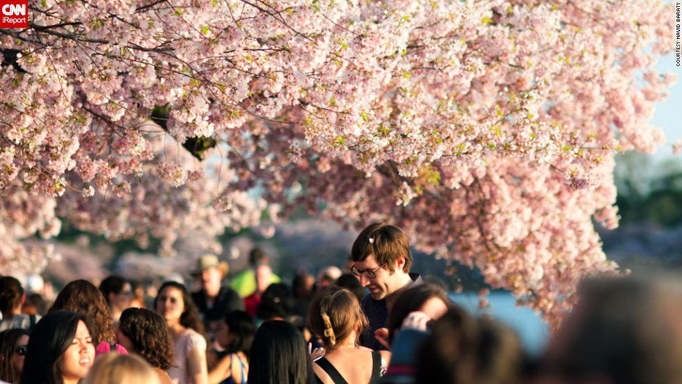 A crowd walks under blooming cherry blossoms.