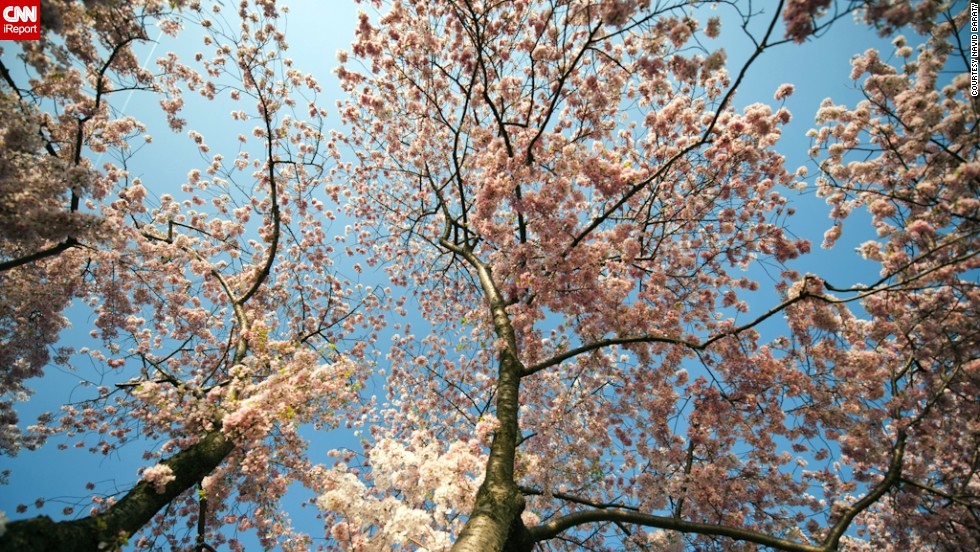 The cherry blossom festival commemorates the gift of 3,000 cherry trees  Japan gave to Washington in 1912.