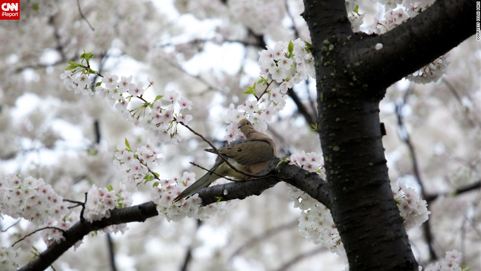 """In 1915, the United States government presented the people of Japan with <a href=""""http://www.nationalcherryblossomfestival.org/about/history/"""" target=""""_blank"""">flowering dogwood trees</a>. The gift was in response to the cherry trees the United States received from Japan three years earlier."""