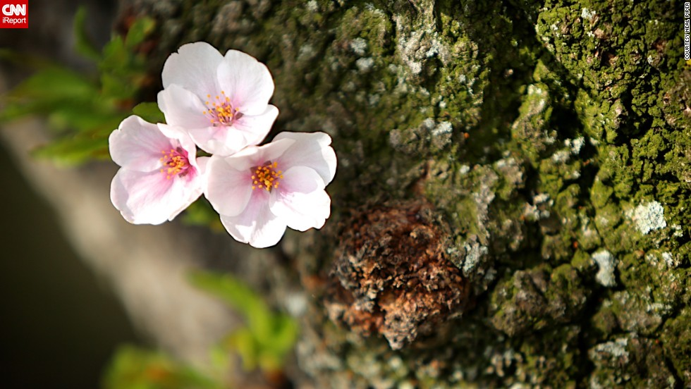 """Cherry blossoms are a familiar springtime sight for <a href=""""http://ireport.cnn.com/docs/DOC-955495"""">Neal Piper</a>, who lives in D.C. He took these photos in March 2013. He was disappointed the blossoms bloomed a lot later than usual last year because of cold weather."""