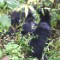 Mountain gorillas in Uganda 4