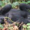 Mountain gorillas in Uganda 5