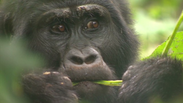 spc inside africa uganda gorillas b_00004309.jpg