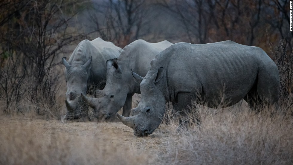 The black rhinos in the Palmwag Concession in Namibia are critically endangered, with fewer than 5,000 left in the wild. Their longer front horn makes them targets for poachers.