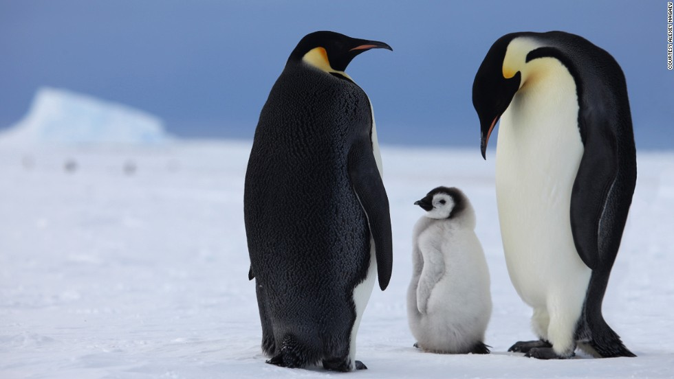 Eight days in Antarctica will be spent exploring ice caves, rock climbing and kite-skiing. The main draw is a colony of 6,000 emperor penguins, populations of which could decline by 50% according to the WWF if global average temperatures rise by just 2 degrees Celsius.